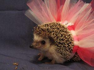 Hegehog ballerina